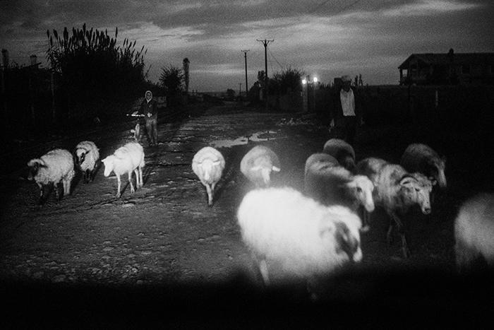Verso sera i pastori riportano il pascolo all'ovile passando dall'unica strada percorribile anche per le auto. Laç, Albania 2011